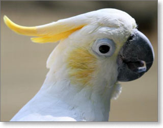 cockatoo2